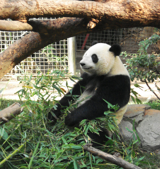 Pandas do San Diego Zoo. Foto: AdrB/Blog Vambora!