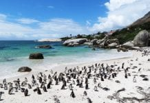 Pinguins Boulders Beach