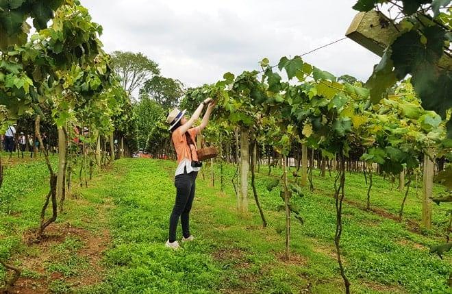 Colheita da Uva na Vinícola Goés, em São Roque